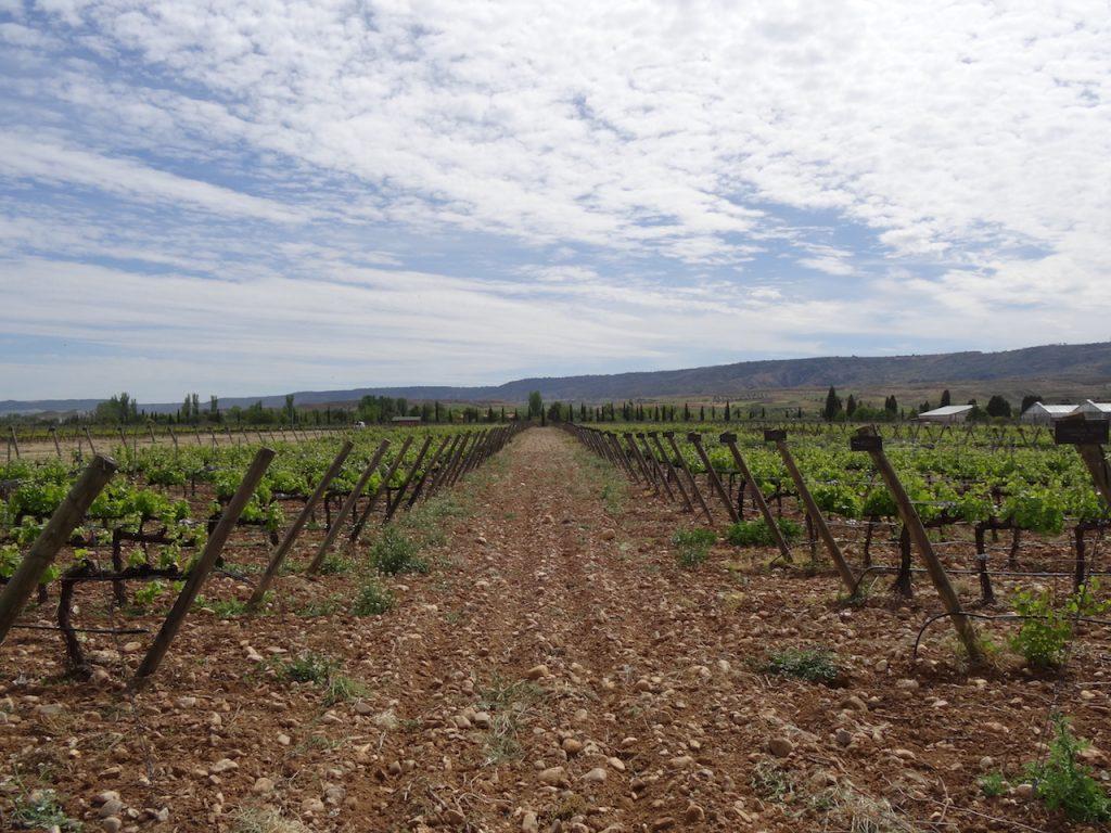 vino, ciencia, investigación, variedades, vid, Imidra, Madrid, Morenillo